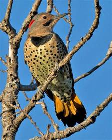 state bird of alabama yellowhammer bird sweet home