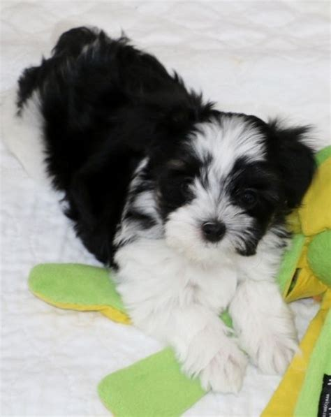 maltese yorkie mix hair 8 facts to know before looking 39 best angel doll puppies maltese yorkie lhasa apso