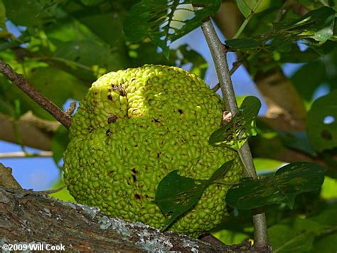 nc fruit trees osage orange maclura pomifera