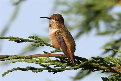 rufous hummingbird birdwatching