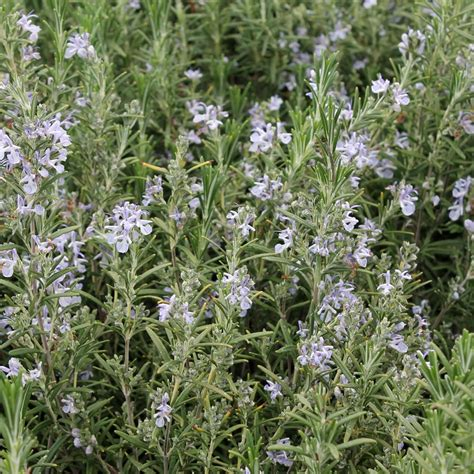 rosemary plant driverlayer search engine