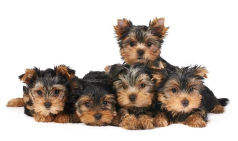 yorkies lifespan what s a pile of yorkies called it s a yorkie