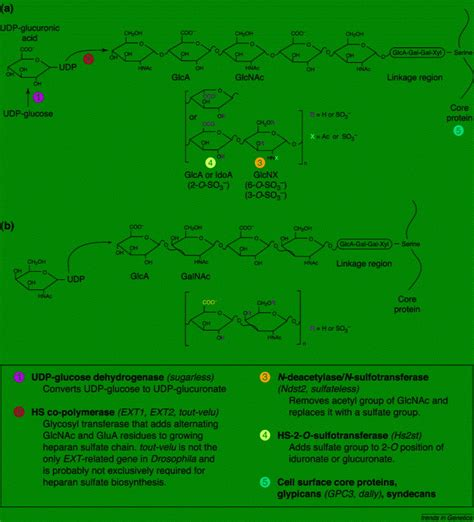 pattern formation genetics definition proteoglycans and pattern formation sugar biochemistry