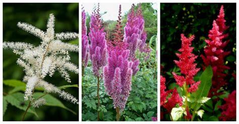 astilbe colors  stars   shade garden