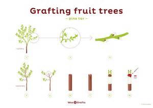Grafting Techniques For Fruit Trees - grafting fruit trees the tree center