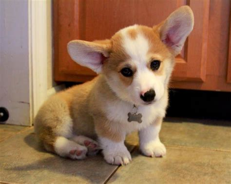 corgie puppies corgi puppy and clever