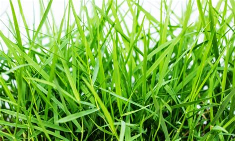 Growing Grass From Seed by Grow Grass From Seed And Save Money Smart Tips