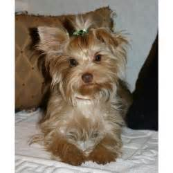 adorable yorkie puppies for adoption pets chesapeake va free classified ads