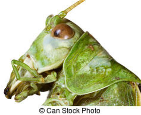 testa martin insetto locuste immagini di archivi di fotografici 4 731 locuste