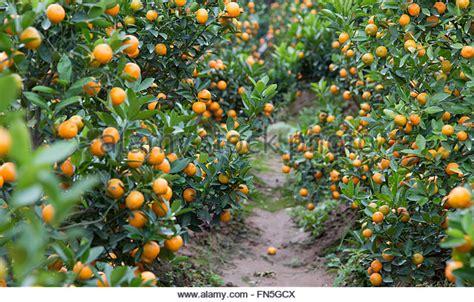 kumquat trees new year kumquat tree stock photos kumquat tree stock images alamy