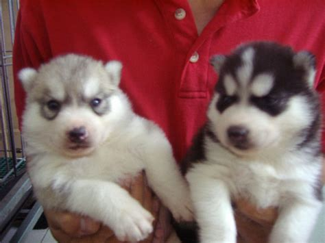 husky doodle puppies for sale local puppy breeders puppies for sale safely find