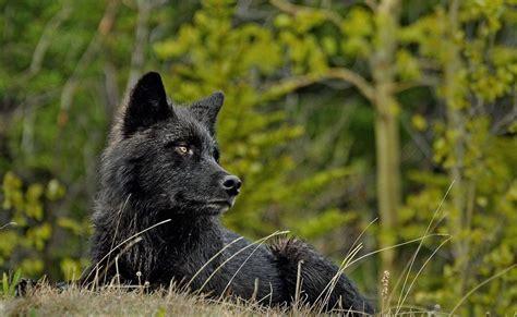 imagenes lobo negro el lobo informacion taringa