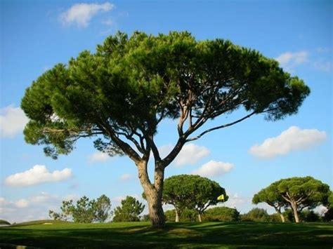 pino da vaso pinus pinea alberi conifere pinus pinea giardino