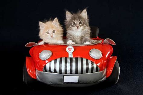 Kat Auto by We Googled Cats In Cars Can T Stop Laughing At What We