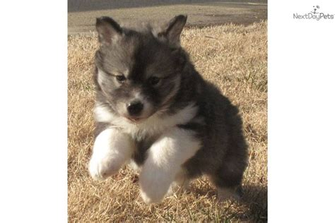 agouti husky puppy husky puppies available now for sale dogs puppies for sale breeds picture
