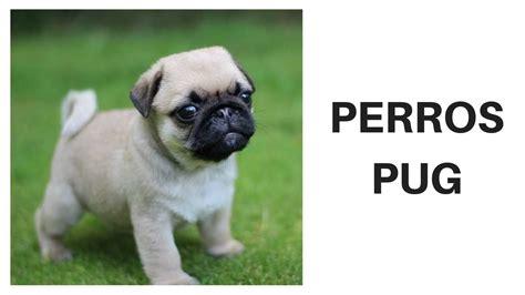 perros pug perros pug raza de perros pug