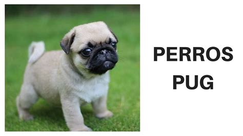perros pug bebes imagenes de perros pug beb 233 s imagui