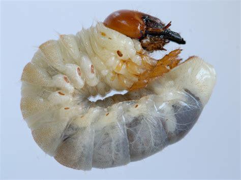 larva di cervo volante riproduzione e biologia ilcervovolantenelbosco