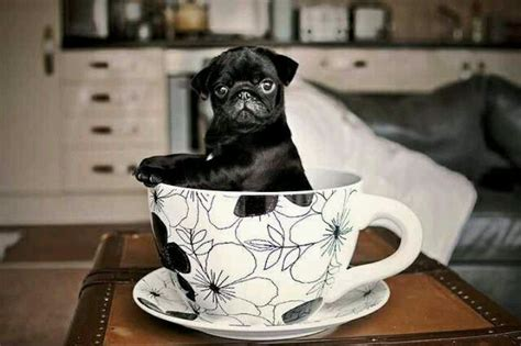 black teacup pug 19 best images about just a pug on what s the pug and teacup pug