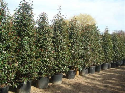 photinia red robin topiary and hedging for sale london uk