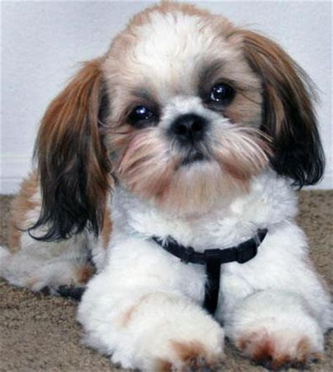 shih tzu teeth cleaning shih tzu breed