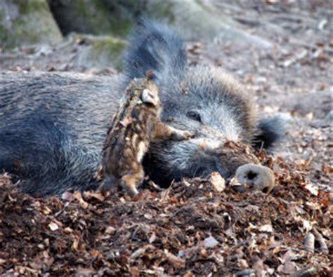 wann ist maisernte wildschweinbestand news www proplanta de