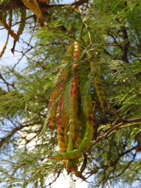 granero el mezquite mezquite arbol comentarios with mezquite arbol free