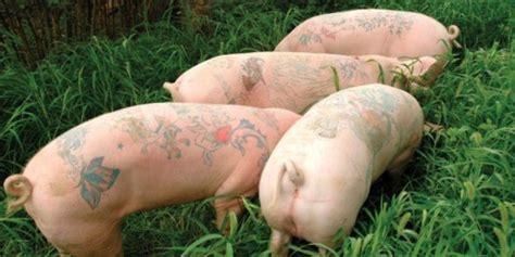 gila babi bertato dijual seharga rp  juta  china