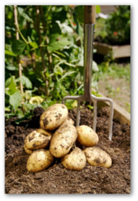 tips for growing potatoes in containers