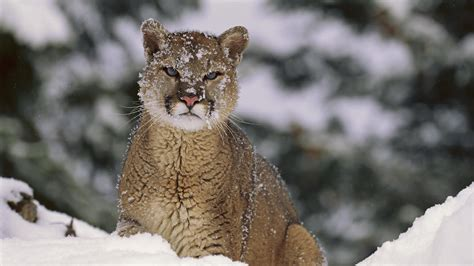 wallpaper mac mountain lion 18701 mac mountain lion picture wallpaper walops com