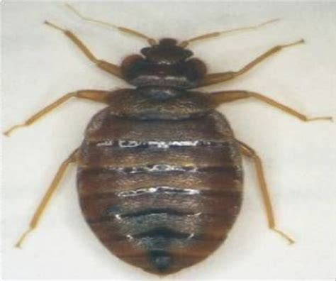 Bed Bugs Cause Psychological Effects