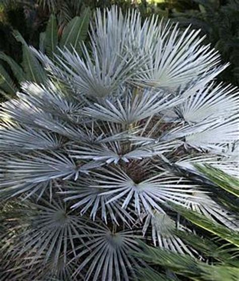 blue mediterranean fan palm for sale palm tree seeds in retail packs from around the world