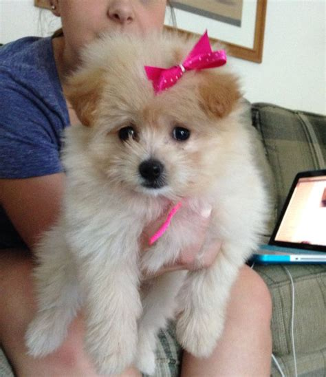 pomeranian poodle lifespan 25 best ideas about pomeranian husky grown on