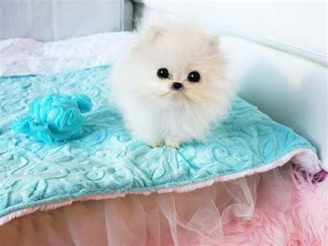 betty s teacup puppies buys 13 000 pomeranian puppy the dogington post