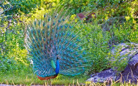 peacock wallpapers peacock wallpaper 1207781