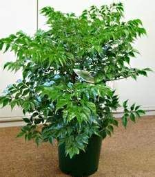 china doll indoor plant 17 best images about in my garden on coffea
