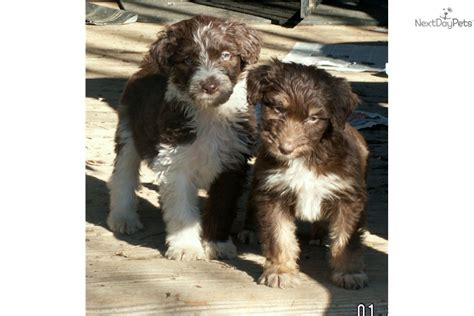 aussiedoodle puppies for sale near me aussiedoodle puppy for sale near sacramento california e42da6f1 4031