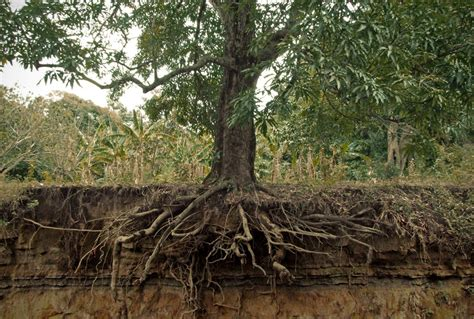how to rescue trees with wrapped up roots you bet your garden whyy
