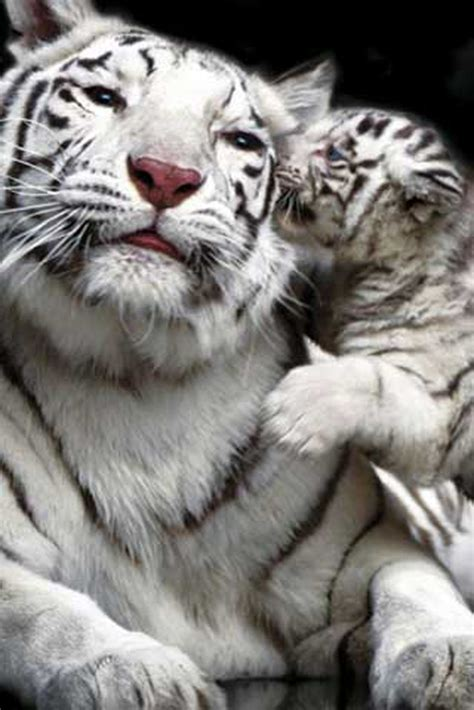 White Tiger L by Raubkatzen White Tiger And Cub Poster 61x91 5