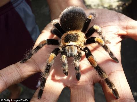 could spider venom be the next viagra daily mail online spider venom could be the next big thing in pain relief