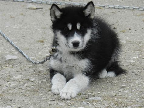 miniature pomeranian husky for sale pomsky puppy