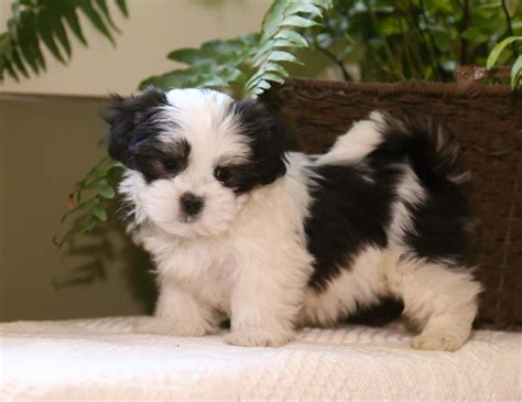 malshi puppies malshi puppies illinois breeds picture