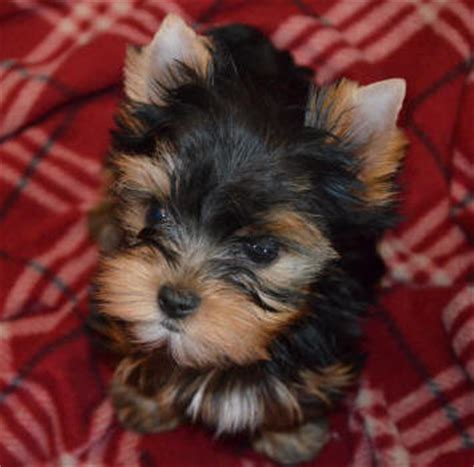 12 week yorkie puppy yorkie puppies for sale artistry yorkies