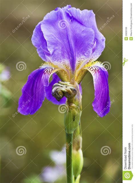 fiore di giaggiolo fiore giaggiolo immagini stock libere da diritti