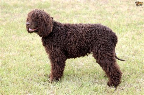 water spaniel puppies water spaniel breed information buying advice
