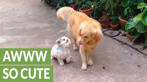 golden retriever mix puppies rescue golden retriever shih tzu mix www pixshark images