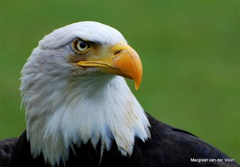 Bald Eagle Papercraft - 17 best images about arend adelaar on