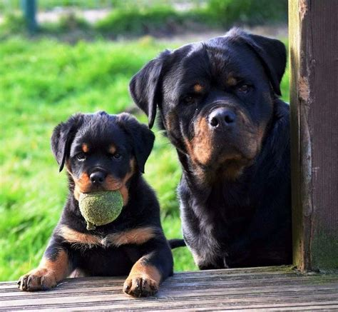 where did rottweilers come from 25 great ideas about rottweiler on