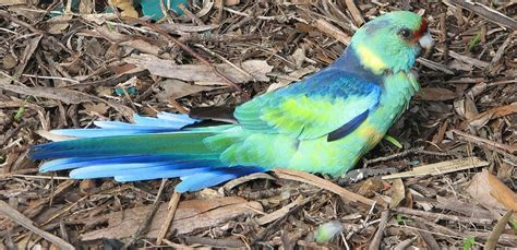 injured bird mallee ringneck parrot trevor s birding