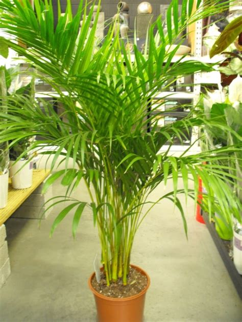 Indoor Plants For Cats areca palm butterfly palm dypsis lutescens